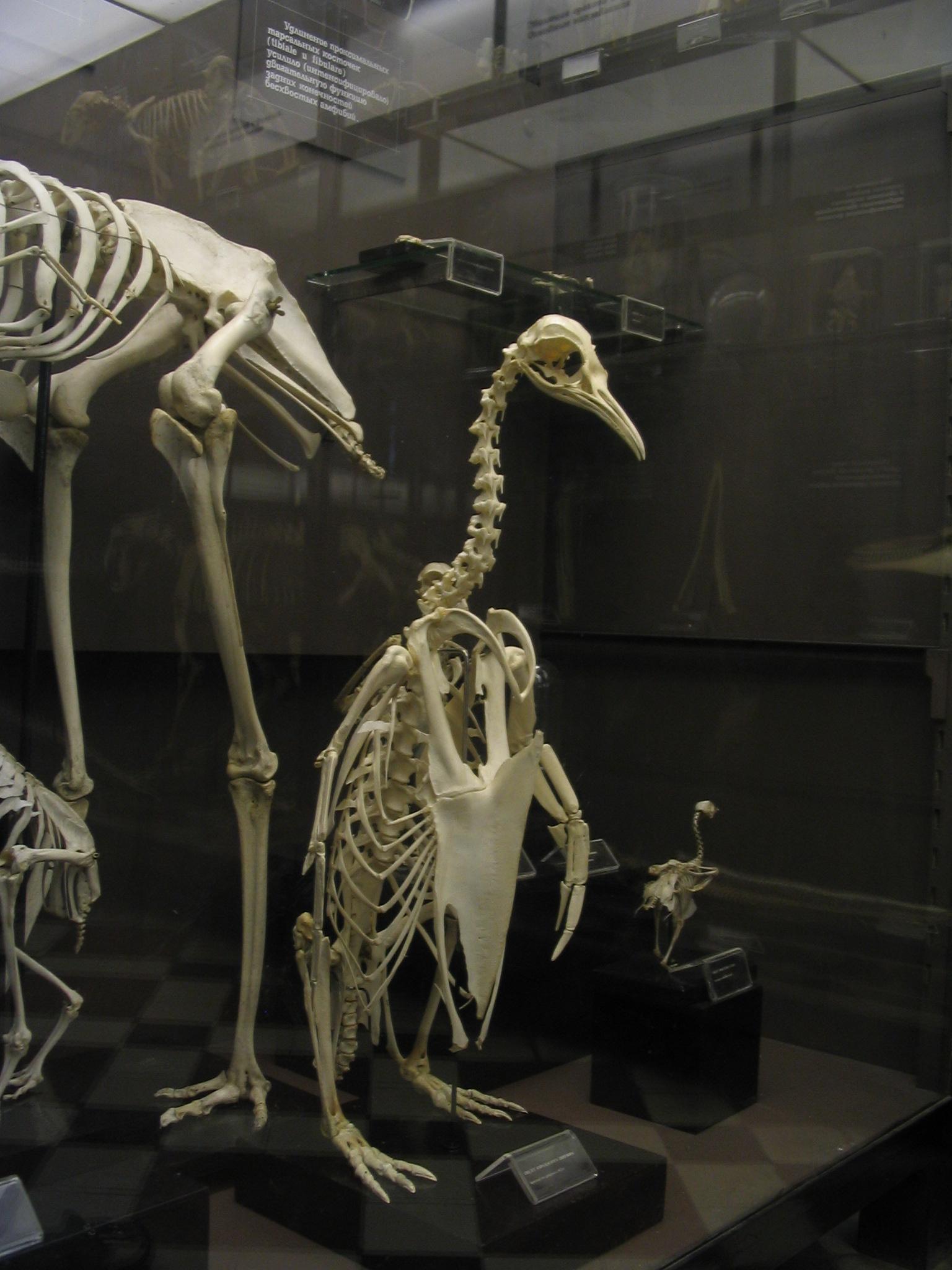 Morphable model of bird skeleton meshes